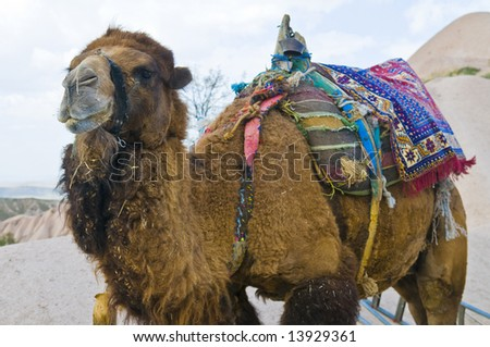 Close up on a camel  in The  Middle East
