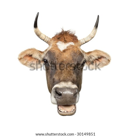 Close-up on a head of a brown Jersey cow (10 years old) in front of a white background - stock photo