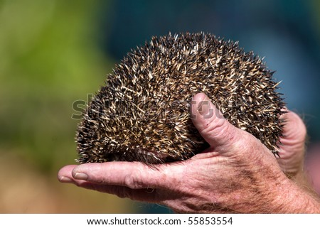Close up on a hedgehog in a hand - stock photo