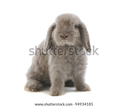 close-up on a Lop Rabbit in front of a white backgroun - stock photo