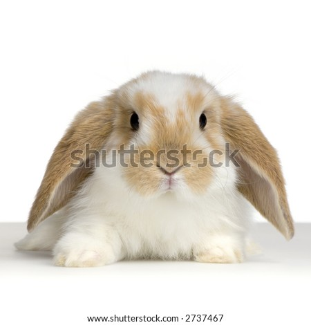 close-up on a Lop Rabbit in front of a white background and looking at the camera - stock photo
