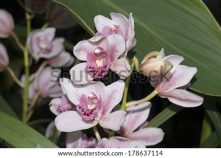Close up on a pink orchid flower in full bloom, Winter gardens, Sheffield, UK 2012 - stock photo