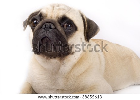 close-up on a pug puppy  in front of a white background