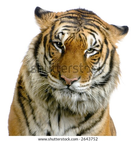 close-up on a Tiger's face in front of a white background. All my pictures are taken in a photo studio