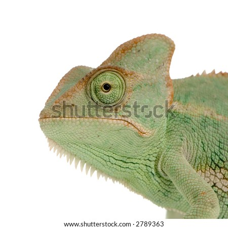 close-up on a Yemen Chameleon in front of a white background and looking at the camera