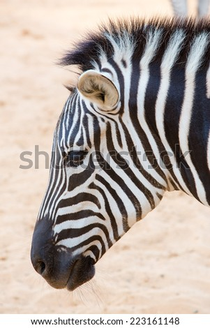 Close up on a zebra's head - stock photo
