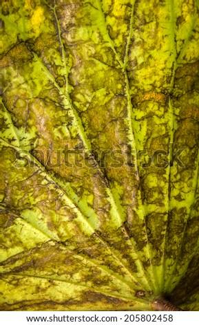 close up on backside of lotus leaf - stock photo