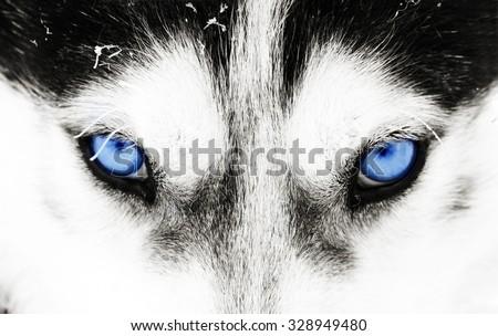 Close up on blue eyes of a husky dog - stock photo