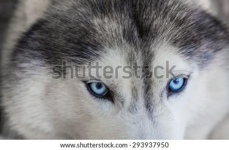 Close up on blue eyes of siberian dog - stock photo
