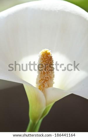 Close up on calla flower - stock photo