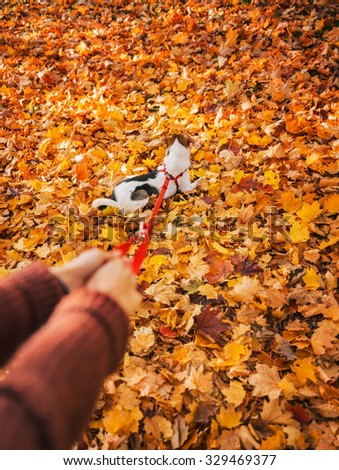 Close up on cute little dog on lead enjoying fall leaves in autumn park
