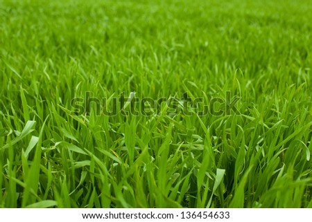 Close up on fresh green grass
