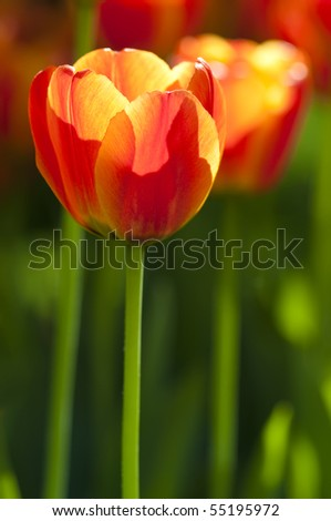 Close up on fresh tulips in warm sunlight - stock photo