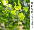 Close-up on Ginkgo Biloba tree - stock photo