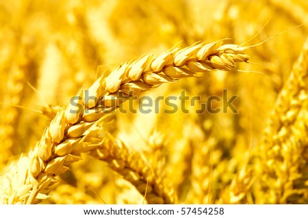 Close-up on golden wheat