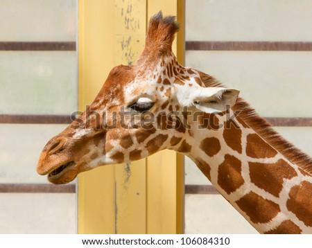 Close up on Head of Giraffe Giraffa Camelopardalis Eating, Blijdorp Rotterdam, Holland - stock photo
