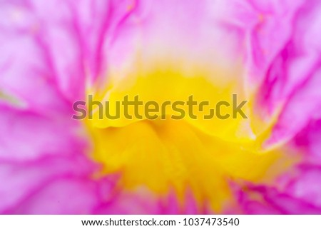 Close up on Pink Trumpet tree flower (Tabebuia rosea) blurred focus as abstract background.