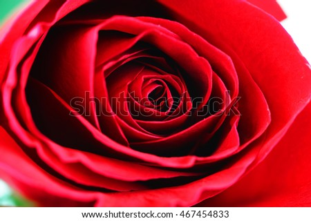close-up on red rose