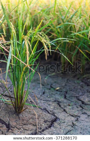 Close up on the green, yellow rice, which are grown on the cracked ground wetland. - stock photo