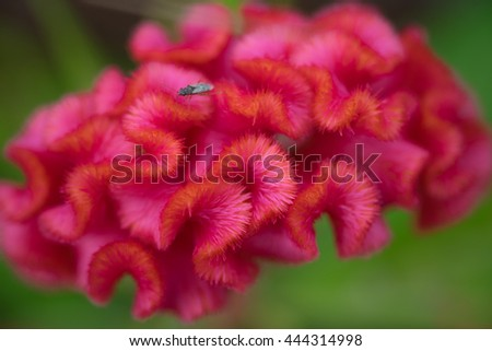 Close up or macro red cockscomb flower and insect. (Selective focus) - stock photo
