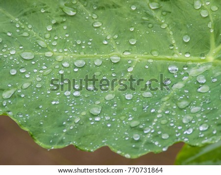 Close up or macro shot of a large leaf covered in rain drops, Thailand