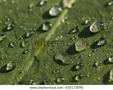 Close up or macro shot of rain droplets on a green leaf caught in the morning sunlight, Thailand.