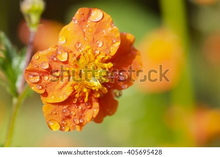 close up orange flower of Geum quellyon