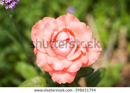 Close up orange rose with green leaves, stock photo - stock photo