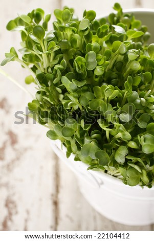 close up organic kaiware, japanese vegetable or watercress are in white retro cup with old wood background.