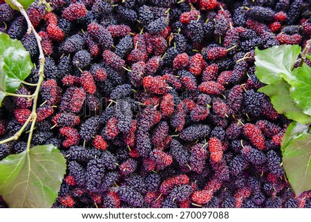 Close up organic mulberry fruit harvested from the farm. - stock photo