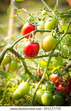 Close-up organic tomatoes branch in organic garden Thailand - stock photo
