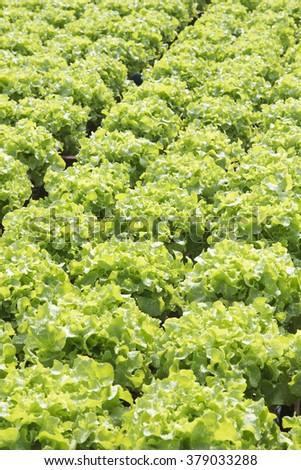 Close up Organic vegetables hydro phonic Plantation - stock photo