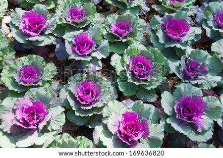 Close Up Ornamental Cabbage in the Garden, Doi Inthanon, Thailand - stock photo