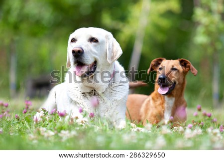 Close Up pair of playful dogs outdoors on green grass - stock photo