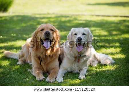 Close Up pair of purebred playful golden retriever dogs outdoors on green grass - stock photo