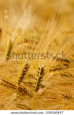 Close up pair of wheat