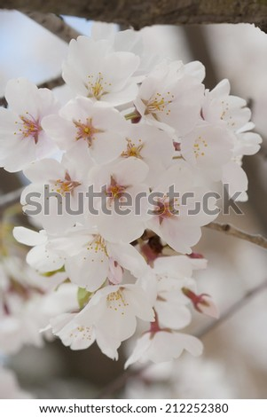 close up pale cherry blossom bunch - stock photo