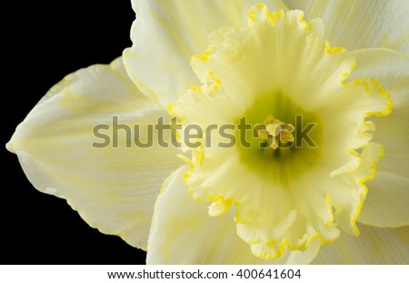 Close up pale yellow daffodil on a black background - stock photo