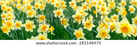 close up panorama of flowers, narcissus - stock photo