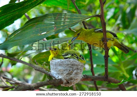 Close up parent feed up the baby bird. Common Iora - Aegithina tiphia - stock photo