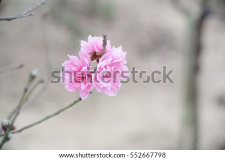 Close up Peach Blossoms Pink flowers, natural background