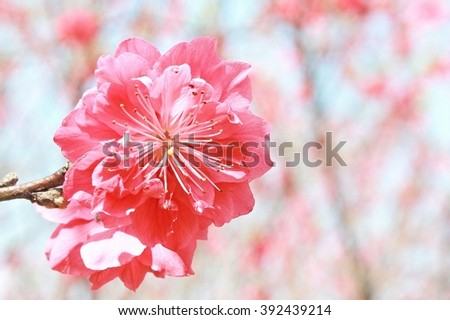 Close up peach flower.Shallow DOF with wide aperture - stock photo