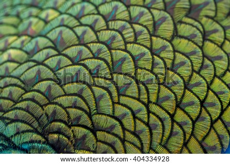 close-up peacock feathers - stock photo