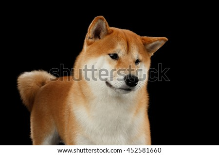 Close-up pedigreed Red Shiba inu Dog Standing and Looks Curious on Isolated Black Background, Front view - stock photo