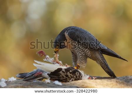 close up Peregrine falcon  - stock photo