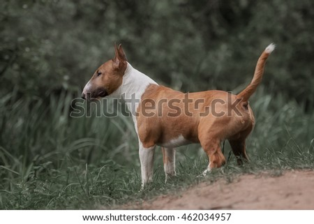 Close Up Pet red Bull terrier Dog Portrait
