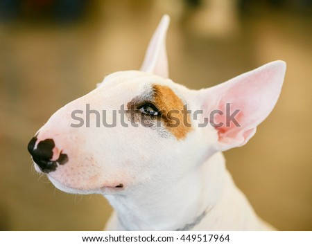 Close Up Pet White Bullterrier Dog Portrait Indoor On Brown Background - stock photo