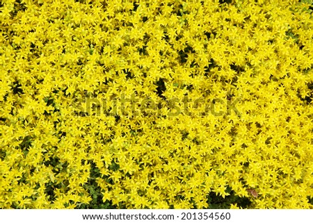 Close-up photo a lot of small yellow flowers. - stock photo