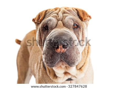 Close-up photo of a beautiful young Shar Pei breed dog with wrinkled skin looking straight forward into the camera - stock photo