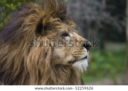 Close up photo of a big king lion in the park